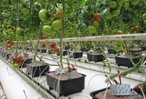 Overview-of-a-commercial-greenhouse-trial